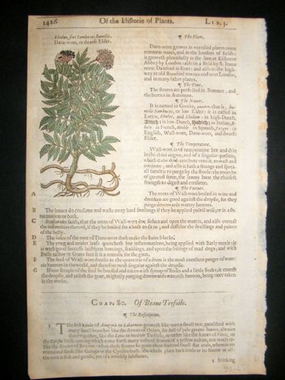 Gerards Herbal 1633 Hand Col Botanical Print. Sambucus Danewort | Albion Prints